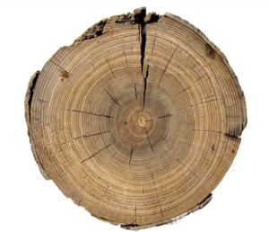 tree rings, mega drought tree ring, spaces in tree trunks, dendrochronology