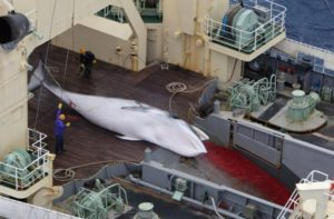 whaling in antartica